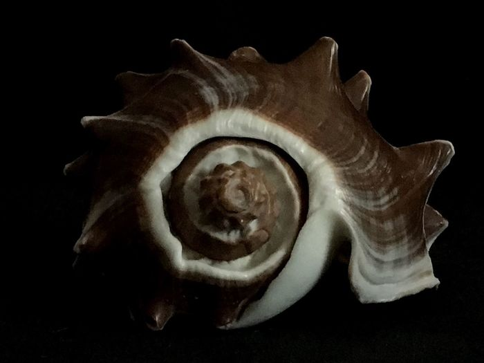 West Indian Crown Conch Seashell Shell Sealife Nature Close-up Studio Shot Black Background No People Detail Focus On Foreground Spiral