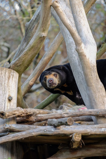 Sun bear patrolling Bear Black Bear Sun Bear Wellington Zoo Wildlife Wildlife & Nature Wildlife Photography