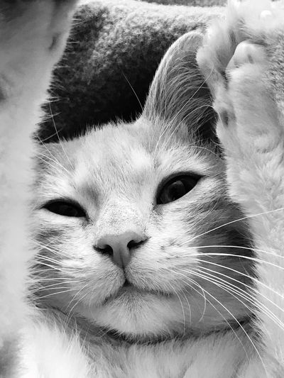 Lazy day Cat Portrait Kitten Blackandwhite Animal Themes Mammal One Animal Animal Domestic Animals Domestic Pets Cat Whisker Feline Domestic Cat Portrait Indoors  Looking At Camera Relaxation