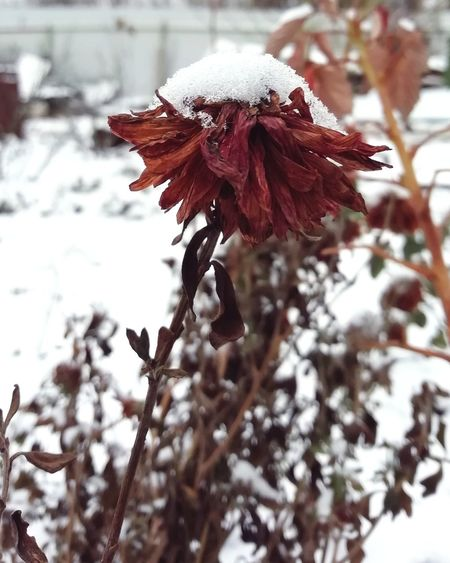 Snow Tree Cold Temperature Winter Red Branch Close-up Petal Wilted Plant Blooming Snowing Snowflake Flower Head Pollen Hydrangea Cosmos Flower Dahlia