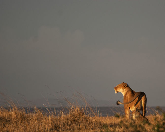 Lions on field against sky during sunset