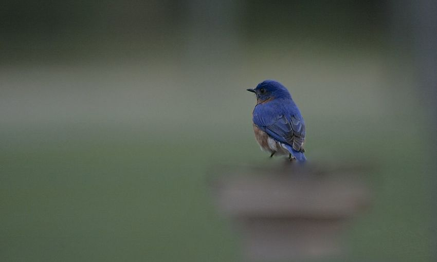 Animal Themes Animal Wildlife Animals In The Wild Beauty In Nature Bird Blue Bluebird Day Nature No People One Animal Outdoors Perching