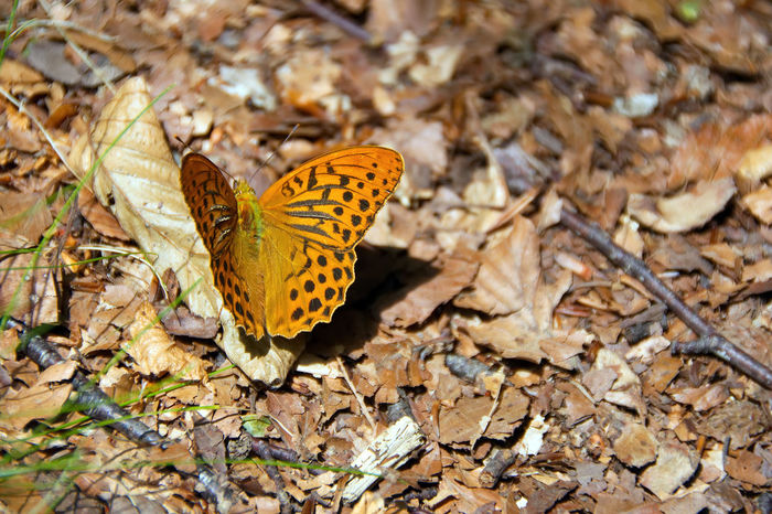 Colorful butterfly ( Argynnis (Argynnis) paphia (Linnaeus, 1758)) in Val d'Aveto natural park - Liguria - Italy Argynnis Paphia Dry Leaves Natural Wood Animal Themes Animals In The Wild Beauty In Nature Black Branch Butterfly Butterfly - Insect Close-up Dry Field Fragility Full Length Groppo Rosso Ground Insect Leaf Nature One Animal Orange Color Park Santo Stefano D'aveto