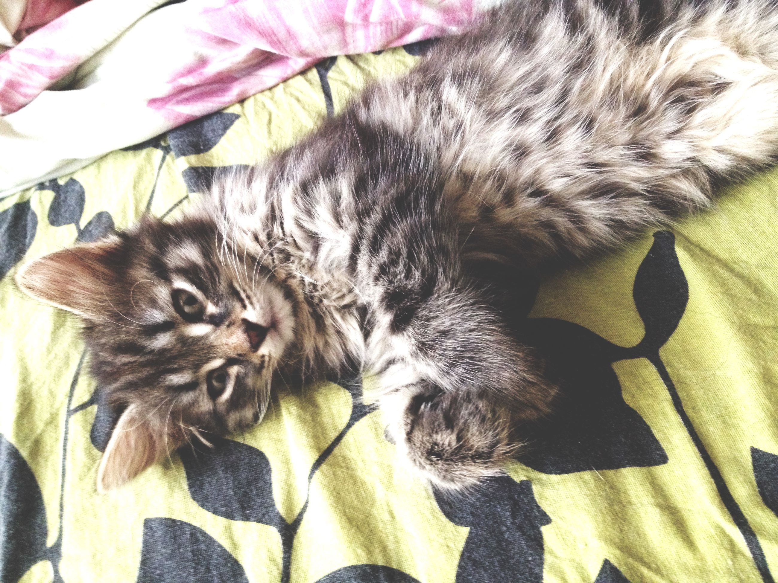 pets, domestic animals, mammal, animal themes, indoors, one animal, domestic cat, relaxation, cat, bed, feline, resting, sleeping, lying down, high angle view, whisker, close-up, sofa, home interior, comfortable