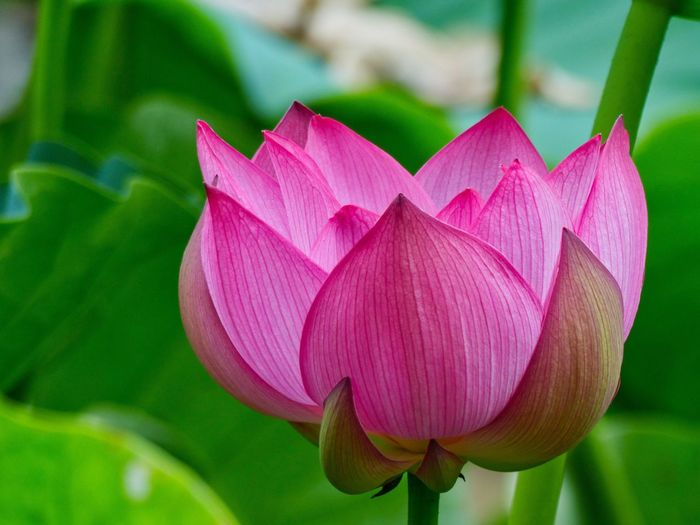 Soft lotus Lotus Lotus Flower Japan Photography Plant Flower Flowering Plant Beauty In Nature Close-up Pink Color Petal Inflorescence