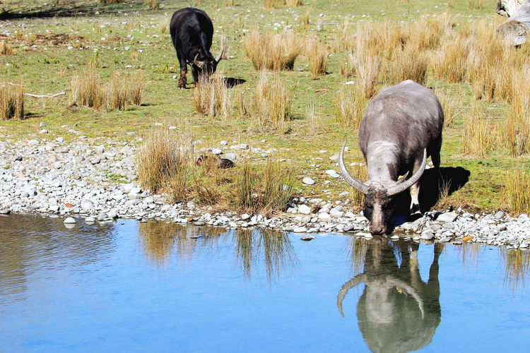 Water Buffalo drinking from a river at Orana Wildlife Park in Christchurch, New Zealand. Water Buffalo Zoo Attraction Conservation Drink Education New Zealand Orana Wildlife Park Preservation River Tourism Two Animals