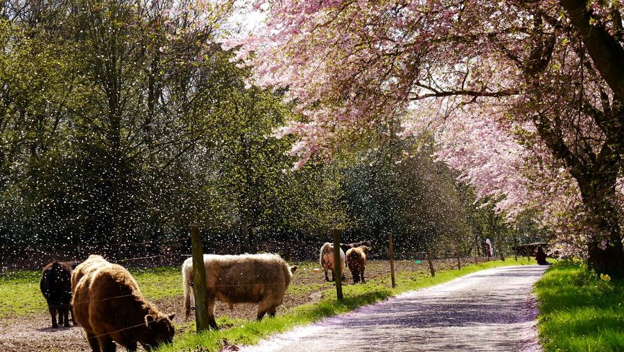 Petals from cherry tree in the air Domestic Animals Tree Animal Themes Nature Livestock No People Large Group Of Animals Beauty In Nature Pink Color South-Kirkby-Straße EyeEm Gallery Petals Petals In The Air Galloways Landscapes Countryside Cherry Trees In Bloom Ladyphotographerofthemonth Capture The Moment Spring Springtime Blossom Sprockhövel Germany EyeEm Best Shots - Nature