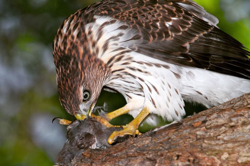 Close-up of eagle feeding on prey at branch