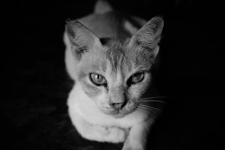 Black Background Pets Portrait Feline Domestic Cat Looking At Camera Sitting Cute Whisker Close-up Animal Eye Animal Head  Ginger Cat Cat Animal Face At Home Tabby Cat