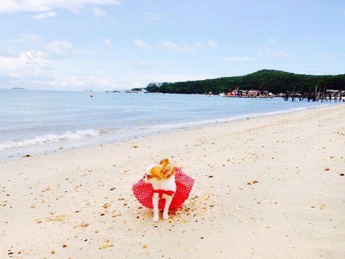 You're so cute Moji 😍😍 Chiwawa Cute Pets Small Dogs  Seaside Model Rayong,Thailand