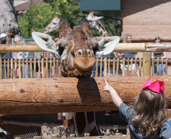 "Aug 2018 - ""Hey You"" Giraffe Animal Wildlife Child Childhood Day Females Focus On Foreground Headshot Innocence Leisure Activity Mammal One Animal One Person Outdoors Portrait Standing Women Zoo"
