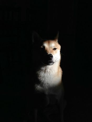Album Cover Animal Animal Head  Animal Themes Black Background Close-up Dark Dog Domestic Animals Focus On Foreground IPhoneography No People NYC Photography Pets Portrait Shiba Inu Shiba Inu LOVE