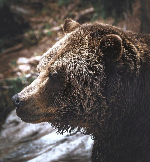 Close-up of a grizzly bear
