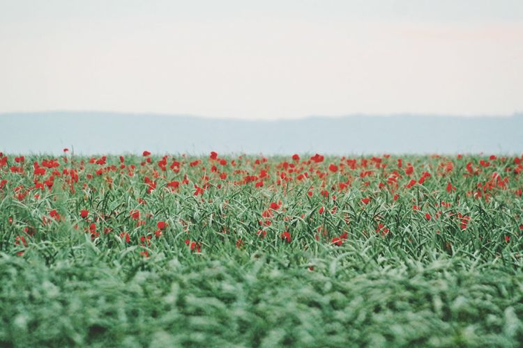 Red Flowers Growing In Field Against Sky