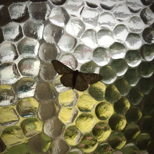 Moth Glass Hexagon Close-up Honeycomb Pattern Backgrounds No People Day Full Frame Fragility Nature Outdoors Animal Themes Moth Glass Window Moths Insect Insect Photography