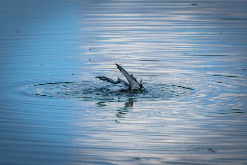 Fishing Dive In Animal Themes Animals In The Wild Bird Bird Diving Lake Nature One Animal Swimming Water Waterfront