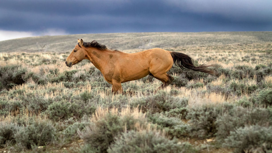 A wild mustang galloping across the prairie in front of an approaching storm. Buckskin Gallop Horse Nature Prairie Relaxing Sky Storm Strong Weather Wild Wildlife