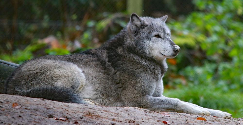 Beautiful Animal Animal Themes Animal Wildlife Close-up Nature No People One Animal Relaxation Wolve Wolves♥