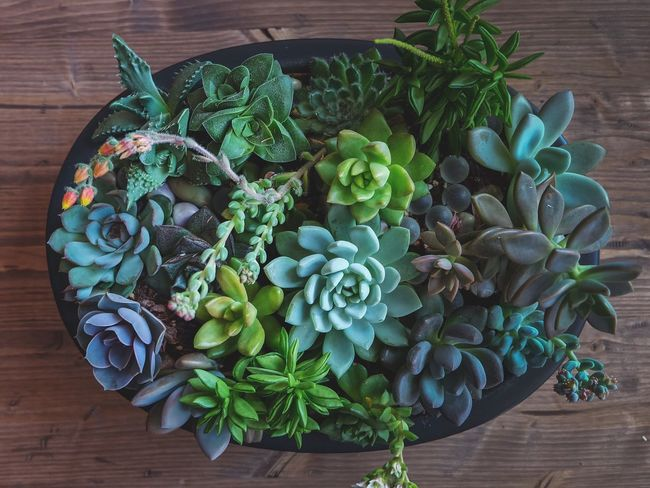 Directly Above Table Wood - Material Freshness Green Color Indoors  Leaf High Angle View No People Flower Day Close-up Nature Fragility Succulents Succulent Plant Success Succulent Succulent Plants SucculentsLover Succulentgarden Succulent Flower Succulent Garden Plant Plants 🌱