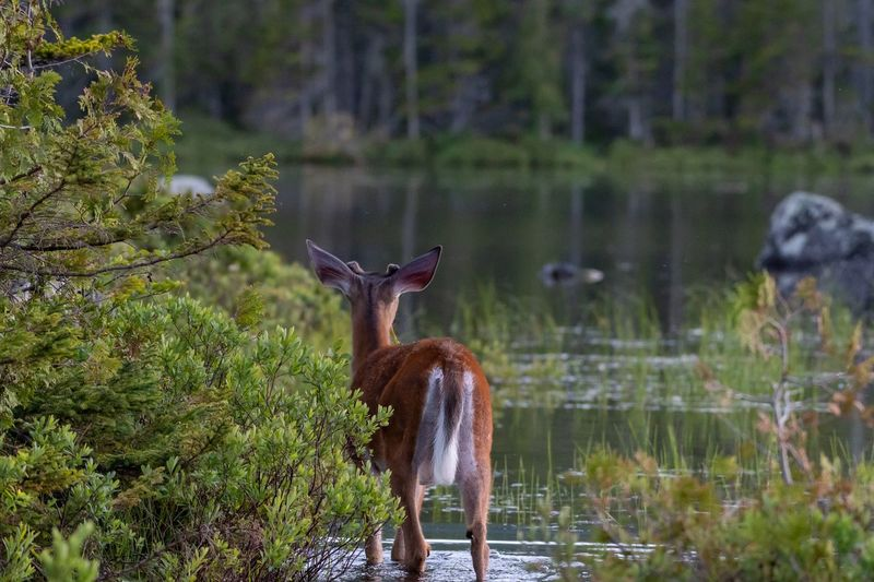 Young buck checking out the pond Baxter State Park Pond Buck Deer EyEm Selects Beauty In Nature Animal Themes Animal Animal Wildlife Mammal Vertebrate Animals In The Wild Tree Plant Nature Deer One Animal Beauty In Nature Standing Outdoors