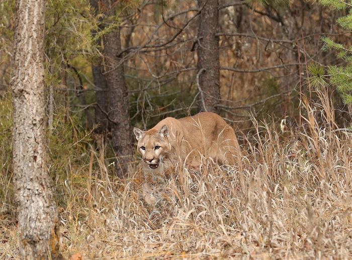 """Prowl"" Mt lion quietly walking thru the tall grass. Watching as he moves. He has his mouth open slightly to assist his nose picking up a scent. One Animal Cougar Mammal Animal Themes Nature No People Walking Outdoors Lion - Feline Mt Lion Forest Nature Grass Animal Photography Mammals Wildlife & Nature Cat Feline Big Cats"