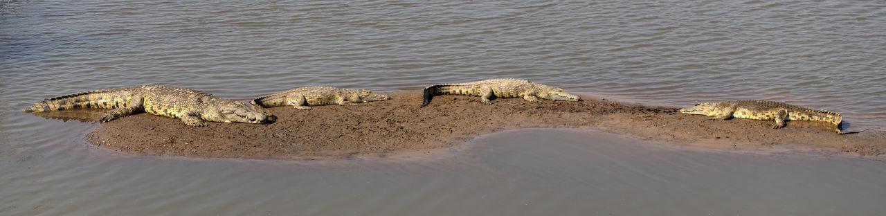 High angle view of crocodiles in the sea