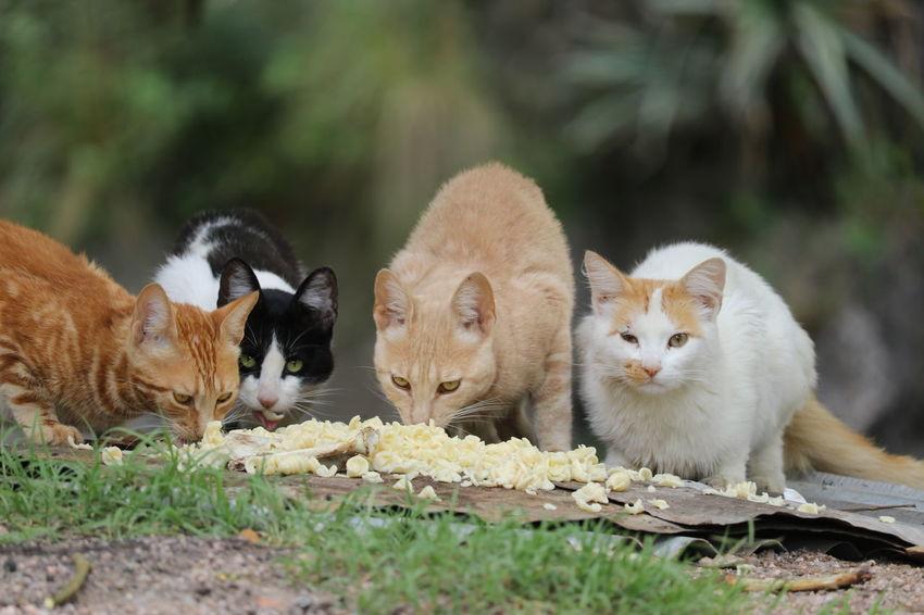 gatos comiendo Cat Eating Food Domestic Animals Many Cats EyeEm Selects Animal Mammal Cute Young Animal Outdoors Looking At Camera Closing No People Nature Eating Day