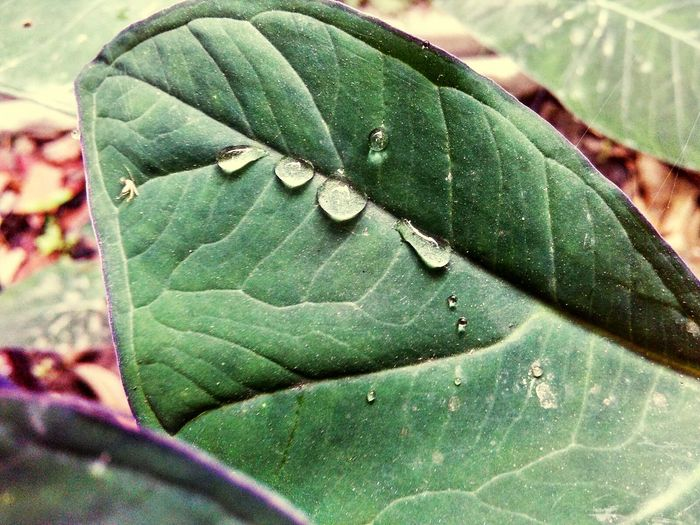Water Drop Water Plant Leaf Rainy Days☔ Rain Nature Photography 1st Click Of The Morning Good Morning✌♥ EyeEm