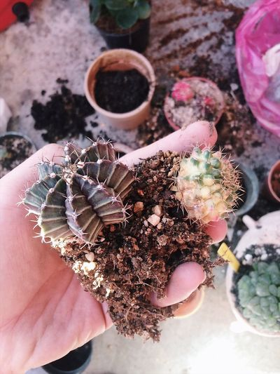 Cropped Hand Holding Cacti In Yard