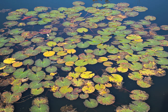 Water lilies floating on water, close up Beauty In Nature Close-up Day Floating Floating On Water Flower Fragility Freshness Growth Leaf Lily Pad Lotus Water Lily Nature No People Outdoors Plant Pond Reflection Scenics Tranquility Water Water Lily Water Plant
