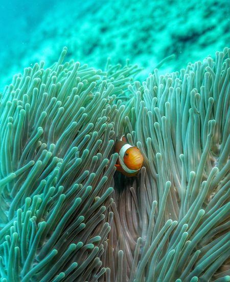 Clown fish hiding amidst sea anemone in sea