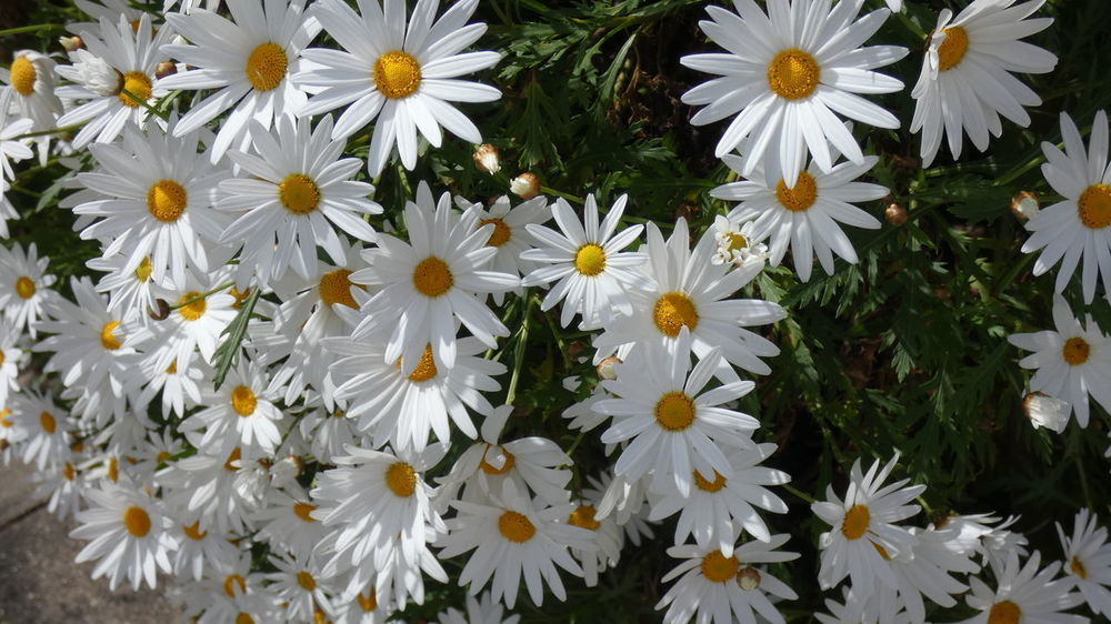 Beauty in white. Flowers,Plants & Garden Beauty In Nature Close-up Daisy Day Flower Flower Head Flowerbed Flowering Plant Flowers Fragility Freshness Full Frame Growth High Angle View Inflorescence Nature No People Outdoors Petal Plant Pollen Vulnerability  White White Color Visual Creativity