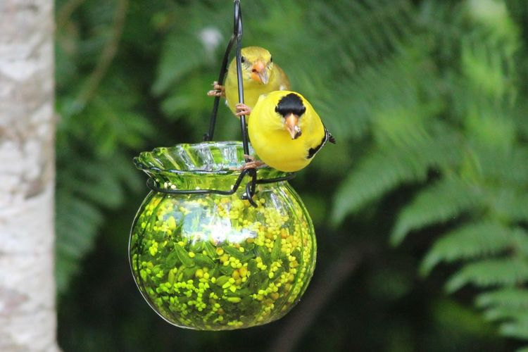 Close-up of yellow birds perching on feeder
