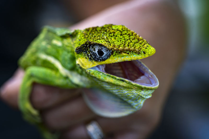 Close-up of  lizard open mouth
