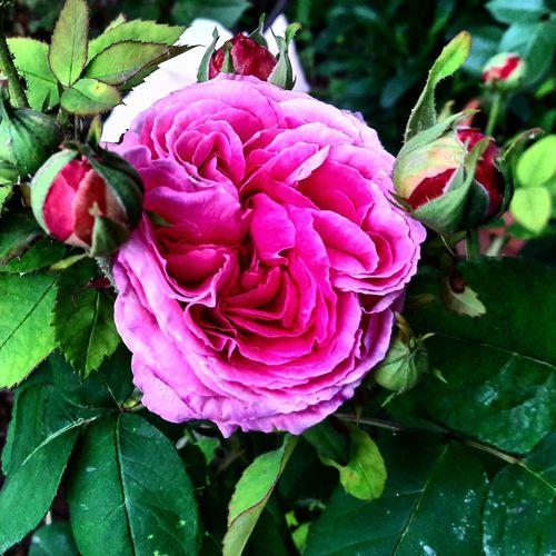 Rose🌹 Flower Nature Beauty In Nature Rose - Flower Natural Beauty Benimgözümden Spring Colours Objektifimdenyansıyanlar Objektifimden Hayatinrenkleri Benimkadrajim Hayatakarken Beauty In Nature Colorsofspring Nature Flower Head Nature_collection Weekend Spring