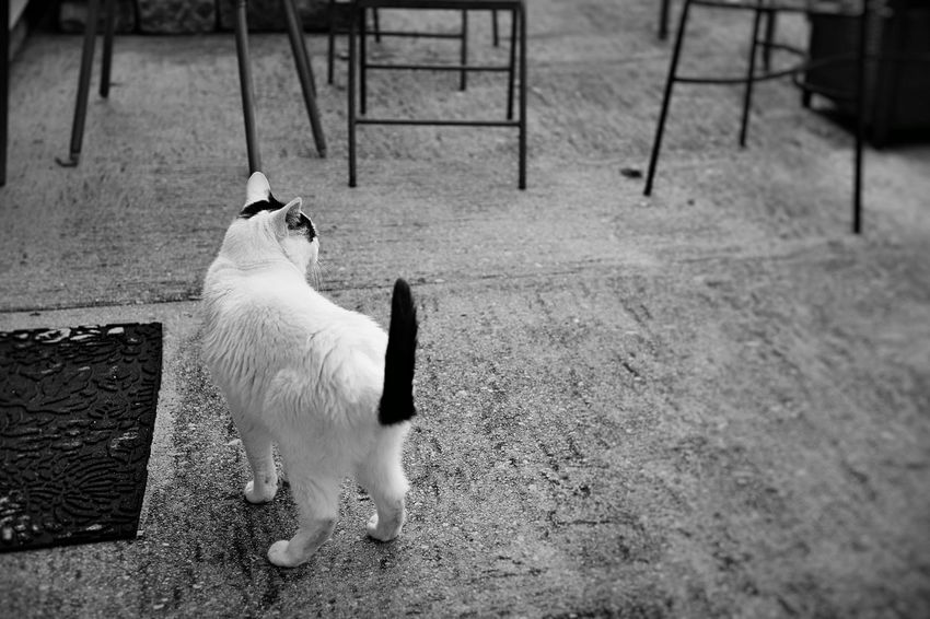 A white cat gazes out to the yard from the patio in black and white Cat Outside Cats Afternoon Meow Mammal Vertebrate Animal Pet White Cat Black Spots Cement Patio Portrait Looking Away Outdoors Full Length Domestic Feline Blackandwhite Tail Animal Themes Backyard Suburbia Rural Scene High Angle View EyeEmNewHere A New Beginning