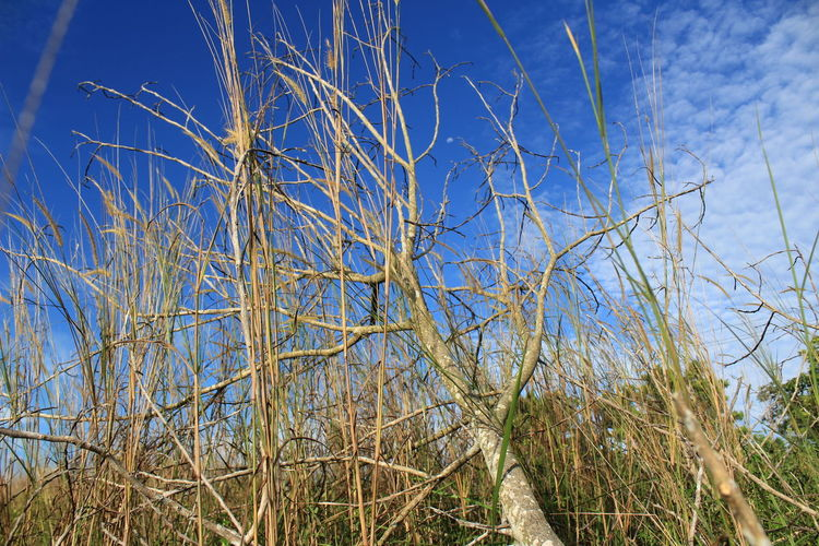 a dead tree in the middle of a field of weeds Pangkalanbun EyeEm Best Shots EyeEmNewHere EyeEm Nature Lover Bare Tree Blue Sky Close-up Grass Plant Dead Plant Dead Tree Fallen Tree Dry