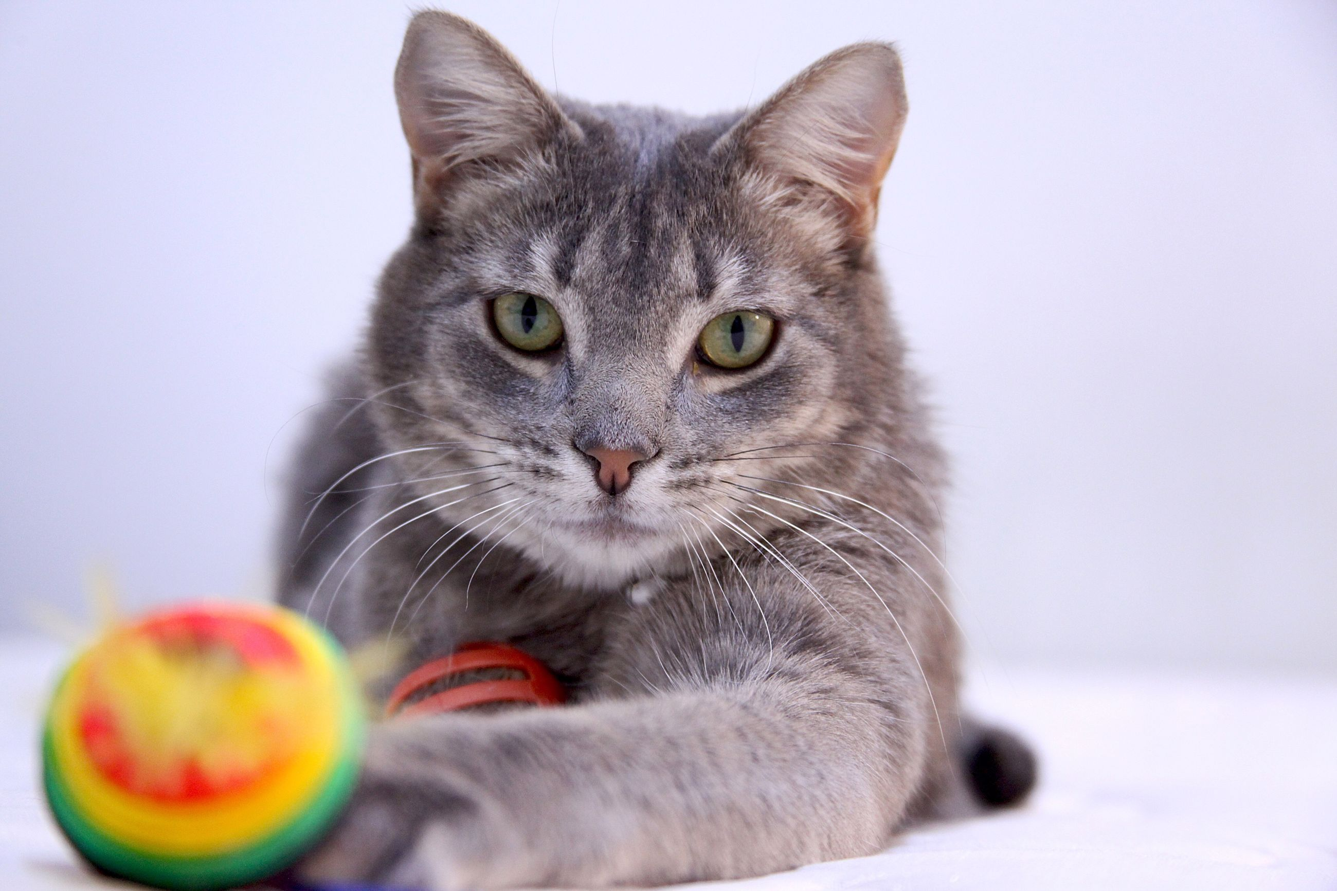 animal themes, domestic animals, pets, one animal, domestic cat, mammal, cat, close-up, indoors, looking at camera, portrait, studio shot, whisker, feline, white background, focus on foreground, animal eye, animal head, no people