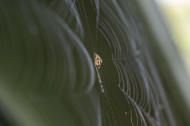 Triangle-bearing orbweavers Spider Web Close-up Nature Outdoors Spider Web