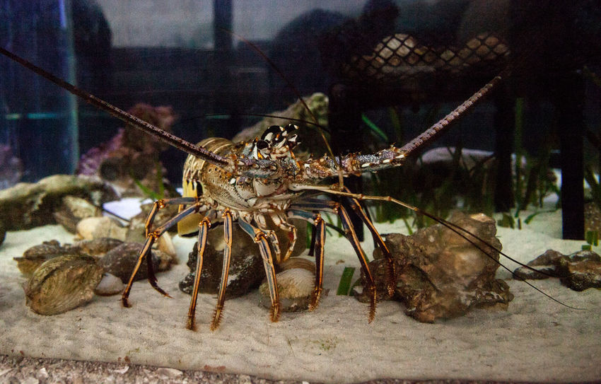 Spiny lobster also called rock lobster Palinuridae forages for food along the sand. Crustacean Lobster Palinuridae Sealife Spiny Lobster Animal Animal Themes Animal Wildlife Animals In The Wild Close-up Marine Marine Life Nature No People One Animal Rock Lobster Sea Water