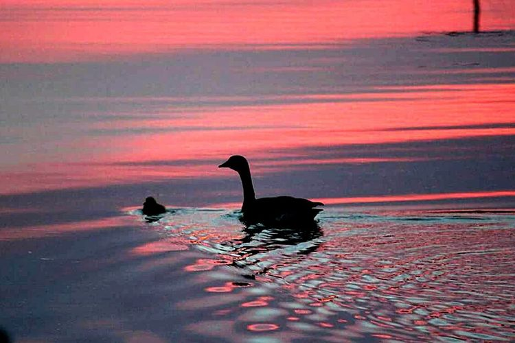 Taking Photos Sunset Silhouettes Check This Out Sun_ Collection Sunset_collection Streamzoofamily Tadaa Community Canada Geese