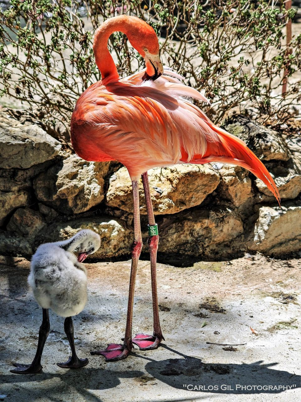 bird, animal themes, animals in the wild, animal wildlife, day, no people, flamingo, outdoors, nature, full length, perching