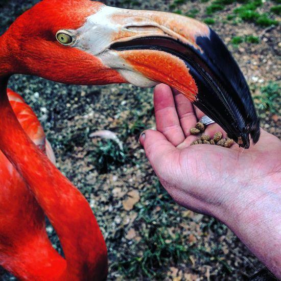 Cropped image of hand feeding flamingo at zoo