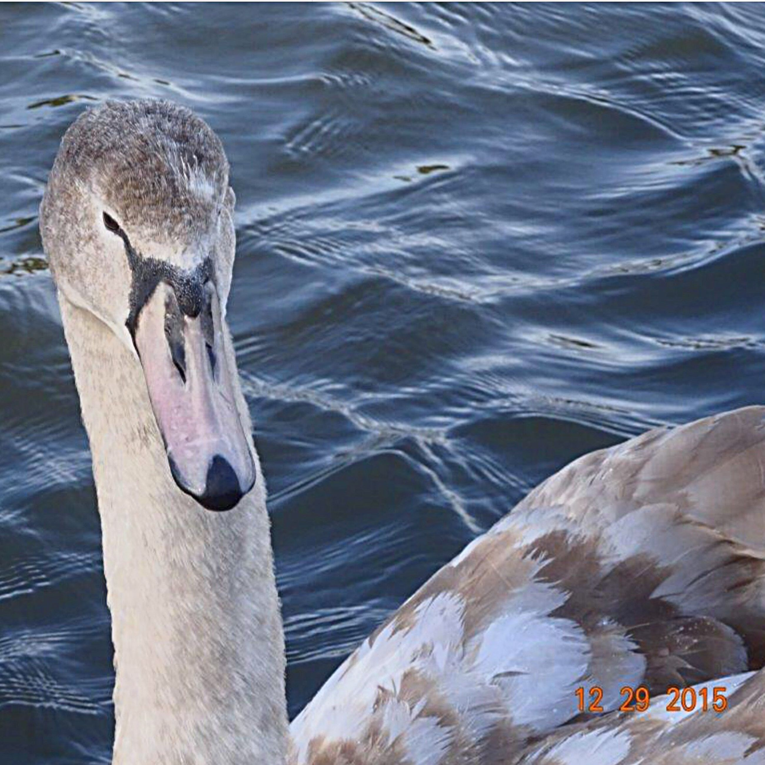 water, animal themes, bird, wildlife, animals in the wild, rippled, lake, swimming, swan, beak, one animal, high angle view, nature, waterfront, duck, outdoors, day, water bird, no people