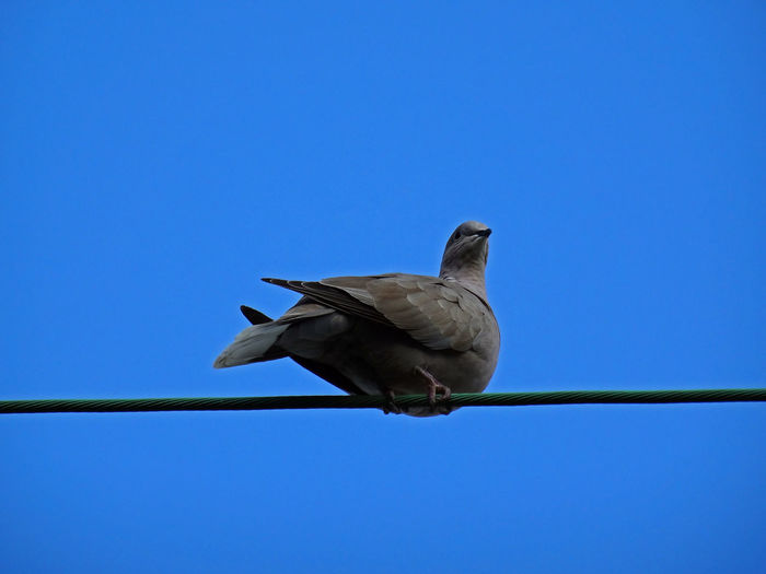 One turtledove against the blue Perching Turtledove Against Blue Azur Blue Blue Sky One Turtledove Selected Focus Full Lenght LINE Selected Focus Bird Photography Bird Clear Sky Perching Blue Sky