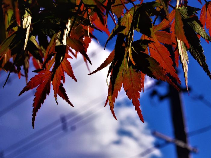 Plant Branch Close-up Leaf Low Angle View Maple Tree Nature No People Outdoors Plant Sky Tree