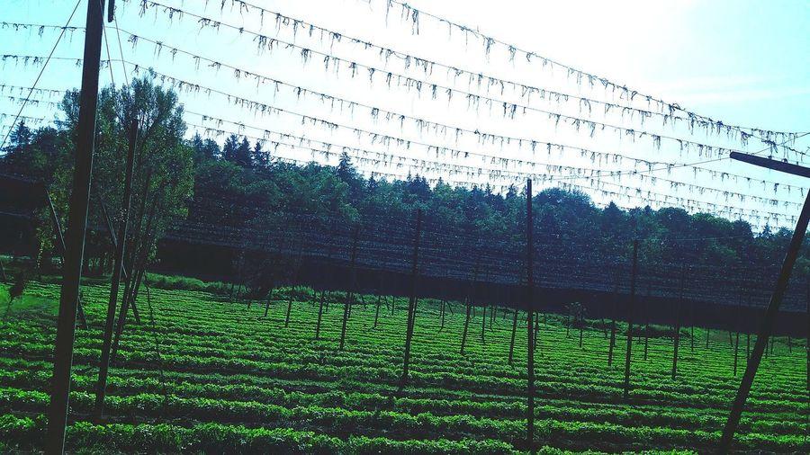 harvested hop