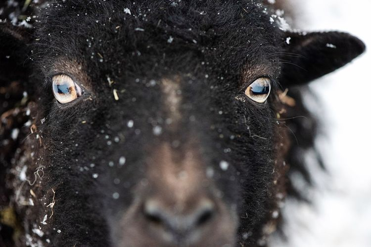 When there was snow... Livestock Curiosity Black Sheep Snowflake Snow Animal Portrait Sheep🐑 Sheep Animal Animal Themes Eye One Animal Close-up Animal Eye Animal Body Part Mammal No People Domestic Animals Pets Domestic Extreme Close-up Looking At Camera Body Part Outdoors Vertebrate Winter The Great Outdoors - 2019 EyeEm Awards The Great Outdoors - 2019 EyeEm Awards