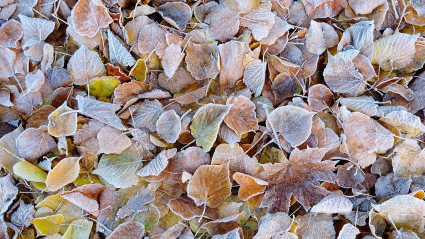 frozen No People Leaves Fall Colors Leaves_collection Autumn Collection Autumn colors Autumn🍁🍁🍁 Frosty Hoarfrost Pastel Colors Natural Structures Atmospheric Mood Still Life Pattern, Texture, Shape And Form Structures In Nature Botanical Structures EyeEm Best Shots EyeEm Nature Lover EyeEm Selects EyeEm Best Shots - Nature Fall Colors Autumn Leaves Backgrounds Full Frame Close-up