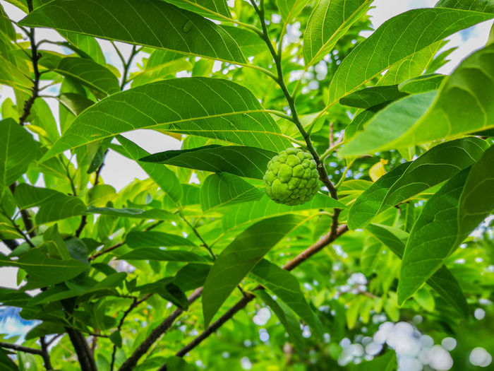 Leaf Green Color Nature Animals In The Wild Animal Wildlife Insect Animal Themes One Animal No People Outdoors Day Plant Close-up Beauty In Nature Freshness Healthy Eating Custard Apple กลิ่นอันหอมหวาน Backgrounds Wallpapers ผลไม้ไทย Tree Food And Drink Nature Fruit